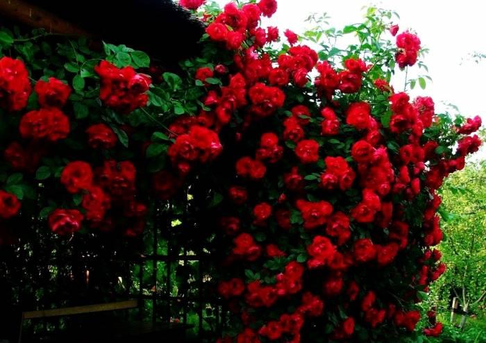 کاشت انواع گل های رونده